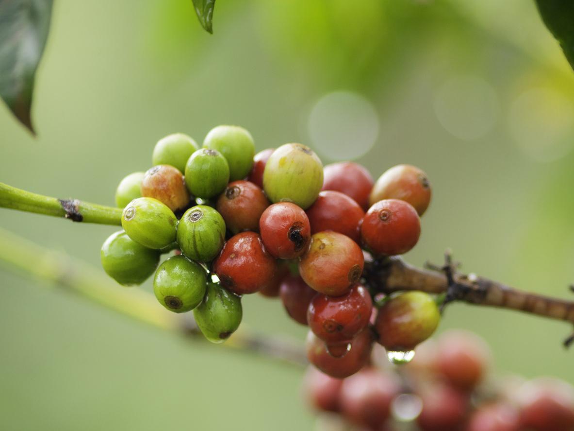 Kenyan Fair Trade Coffee