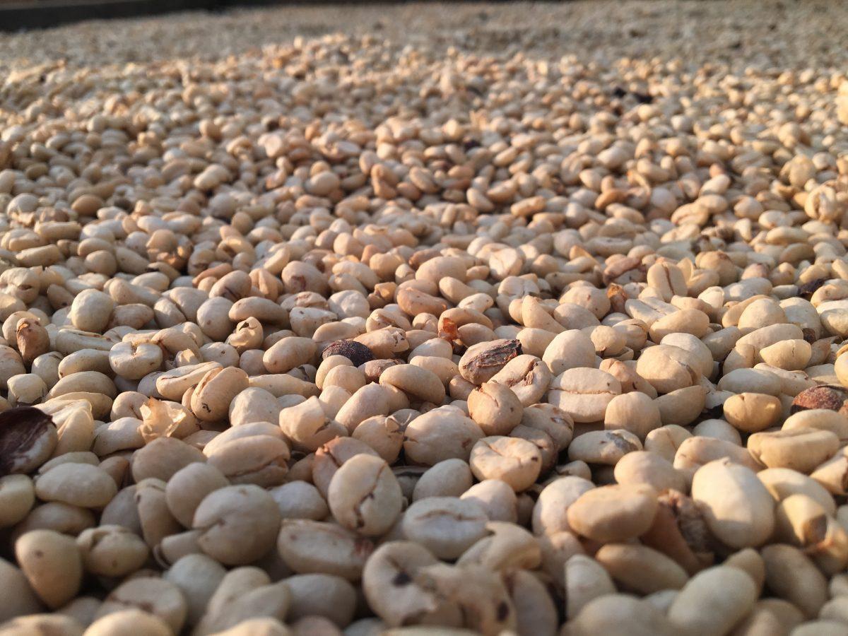 Kaffeebohnen zum Trocknen ausgelegt